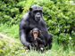 image of chimpanzees
