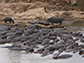Hippos congregate in pools along the Mara River