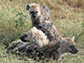 spotted hyenas playing
