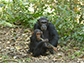 image of two chimpanzees