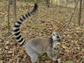 a male ring-tailed lemur