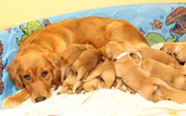 a guide dog and puppies