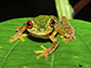 Mossy Red-eyed Frog