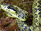 newly discovered Talamancan Palm-Pitviper