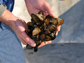 oysters threatened by acidification