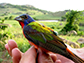 painted bunting, a neotropical migratory songbird