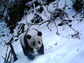 Panda in Wolong Nature Reserve