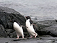 Adélie penguins rely on the krill being close to shore