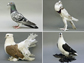 a collage of four breeds of pigeons