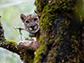 a mountain lion in a tree