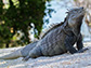 the critically endangered Ricord�s iguana