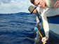 researchers measure a grey reef shark