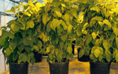 soybeans grown in WSU greenhouse