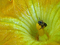 image of a squash bee