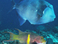 triggerfish, top, and hogfish