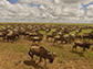 wildebeest crossing the Serengeti